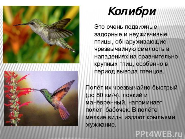 Это очень подвижные, задорные и неуживчивые птицы, обнаруживающие чрезвычайную смелость в нападениях на сравнительно крупных птиц, особенно в период вывода птенцов. Колибри Полёт их чрезвычайно быстрый (до 80 км/ч), ловкий и манёвренный, напоминает …