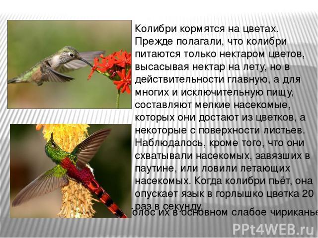 Колибри кормятся на цветах. Прежде полагали, что колибри питаются только нектаром цветов, высасывая нектар на лету, но в действительности главную, а для многих и исключительную пищу, составляют мелкие насекомые, которых они достают из цветков, а нек…