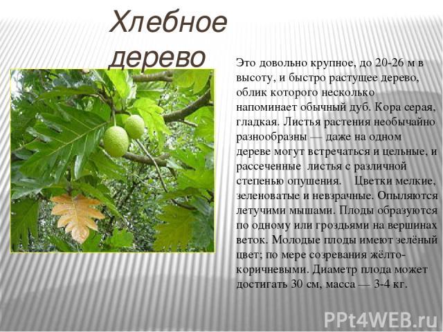 Хлебное дерево Это довольно крупное, до 20-26 м в высоту, и быстро растущее дерево, облик которого несколько напоминает обычный дуб. Кора серая, гладкая. Листья растения необычайно разнообразны — даже на одном дереве могут встречаться и цельные, и р…