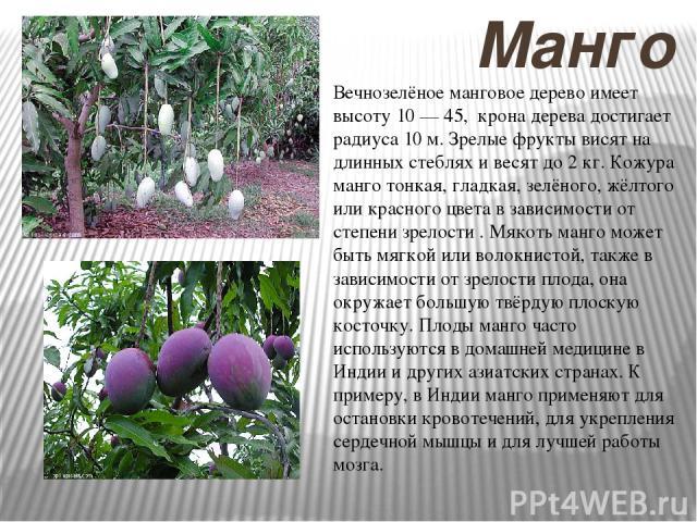 Манго Вечнозелёное манговое дерево имеет высоту 10 — 45, крона дерева достигает радиуса 10 м. Зрелые фрукты висят на длинных стеблях и весят до 2 кг. Кожура манго тонкая, гладкая, зелёного, жёлтого или красного цвета в зависимости от степени зрелост…