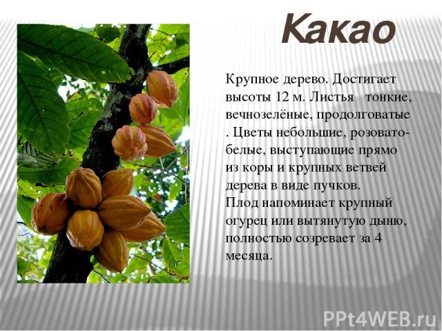 Какао Крупное дерево. Достигает высоты 12 м. Листья тонкие, вечнозелёные, продолговатые . Цветы небольшие, розовато-белые, выступающие прямо из коры и крупных ветвей дерева в виде пучков. Плод напоминает крупный огурец или вытянутую дыню, полностью …