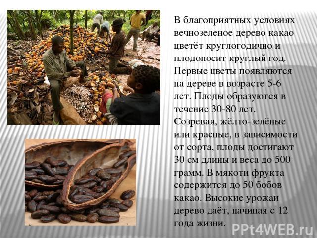 В благоприятных условиях вечнозеленое дерево какао цветёт круглогодично и плодоносит круглый год. Первые цветы появляются на дереве в возрасте 5-6 лет. Плоды образуются в течение 30-80 лет. Созревая, жёлто-зелёные или красные, в зависимости от сорта…
