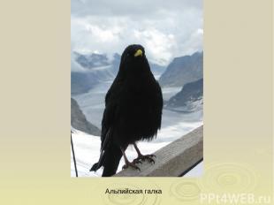 Альпийская галка