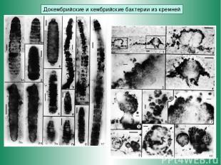 Докембрийские и кембрийские бактерии из кремней