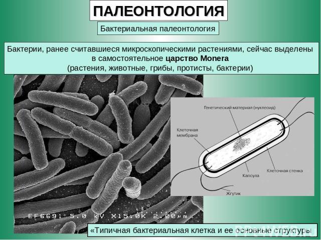 ПАЛЕОНТОЛОГИЯ Бактериальная палеонтология Бактерии, ранее считавшиеся микроскопическими растениями, сейчас выделены в самостоятельное царство Monera (растения, животные, грибы, протисты, бактерии) «Типичная бактериальная клетка и ее основные структуры