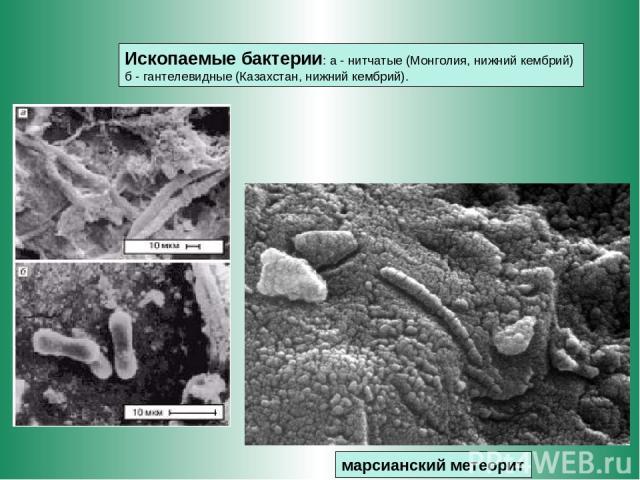 марсианский метеорит Ископаемые бактерии: а - нитчатые (Монголия, нижний кембрий) б - гантелевидные (Казахстан, нижний кембрий).