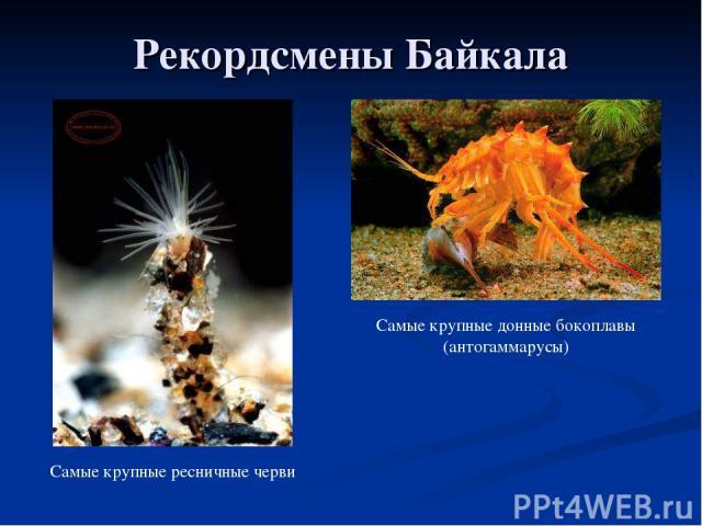 Рекордсмены Байкала Самые крупные ресничные черви Самые крупные донные бокоплавы (антогаммарусы)