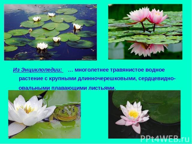 Из Энциклопедии: … многолетнее травянистое водное растение с крупными длинночерешковыми, сердцевидно-овальными плавающими листьями.