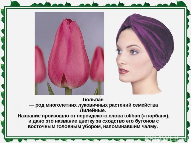 Тюльпа н — род многолетних луковичных растений семейства Лилейные. Название произошло от персидского слова toliban («тюрбан»), и дано это название цветку за сходство его бутонов с восточным головным убором, напоминавшим чалму.