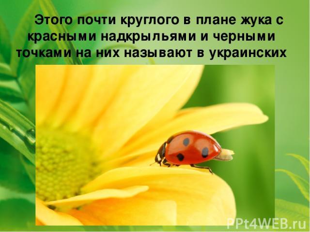 Этого почти круглого в плане жука с красными надкрыльями и черными точками на них называют в украинских селах ласково - солнышком.