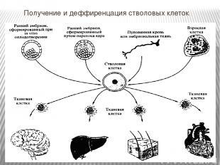 Получение и деффиренцация стволовых клеток