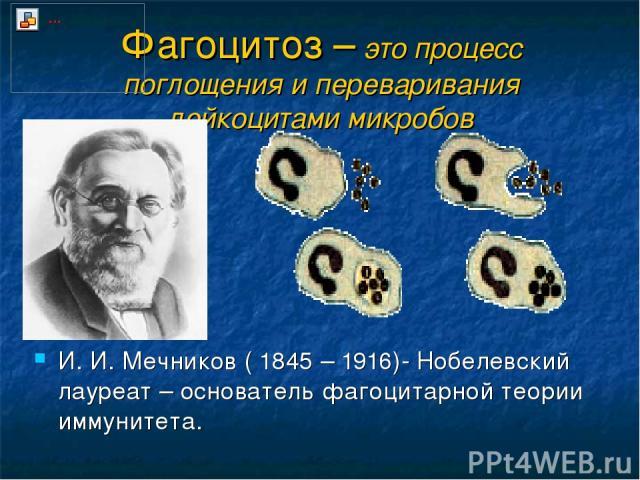 Фагоцитоз – это процесс поглощения и переваривания лейкоцитами микробов И. И. Мечников ( 1845 – 1916)- Нобелевский лауреат – основатель фагоцитарной теории иммунитета.