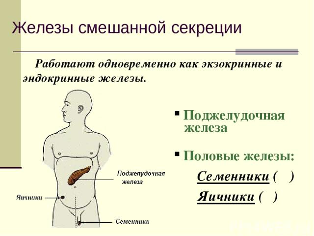 Железы смешанной секреции Работают одновременно как экзокринные и эндокринные железы. Поджелудочная железа Половые железы: Семенники (♂) Яичники (♀)