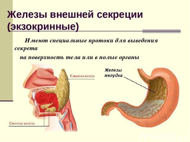 Железы внешней секреции (экзокринные) Имеют специальные протоки для выведения секрета на поверхность тела или в полые органы