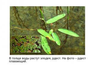 В толще воды растут элодея, рдест. На фото – рдест плавающий.