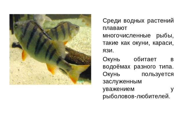 Среди водных растений плавают многочисленные рыбы, такие как окуни, караси, язи. Окунь обитает в водоёмах разного типа. Окунь пользуется заслуженным уважением у рыболовов-любителей.