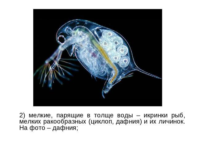 2) мелкие, парящие в толще воды – икринки рыб, мелких ракообразных (циклоп, дафния) и их личинок. На фото – дафния;