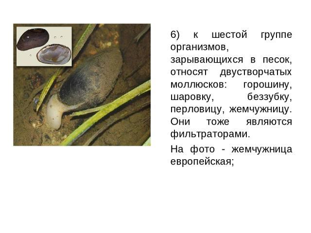 6) к шестой группе организмов, зарывающихся в песок, относят двустворчатых моллюсков: горошину, шаровку, беззубку, перловицу, жемчужницу. Они тоже являются фильтраторами. На фото - жемчужница европейская;