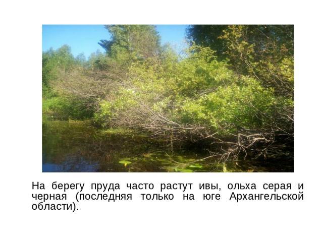 На берегу пруда часто растут ивы, ольха серая и черная (последняя только на юге Архангельской области).