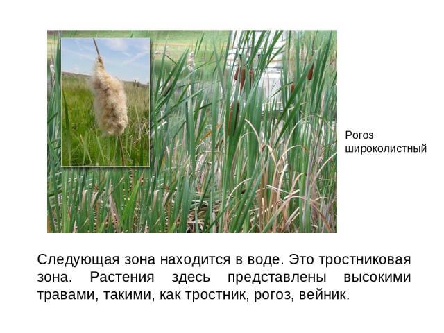 Следующая зона находится в воде. Это тростниковая зона. Растения здесь представлены высокими травами, такими, как тростник, рогоз, вейник. Рогоз широколистный