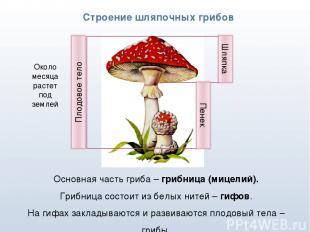 * Строение шляпочных грибов Основная часть гриба – грибница (мицелий). Грибница