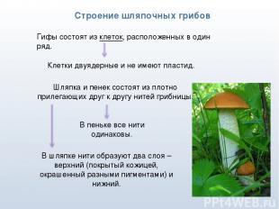 * Строение шляпочных грибов Гифы состоят из клеток, расположенных в один ряд. Кл