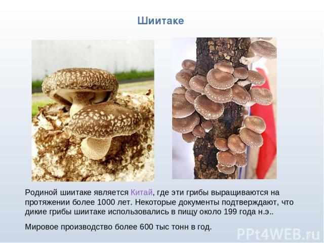 * Родиной шиитаке является Китай, где эти грибы выращиваются на протяжении более 1000 лет. Некоторые документы подтверждают, что дикие грибы шиитаке использовались в пищу около 199 года н.э.. Мировое производство более 600 тыс тонн в год. Шиитаке