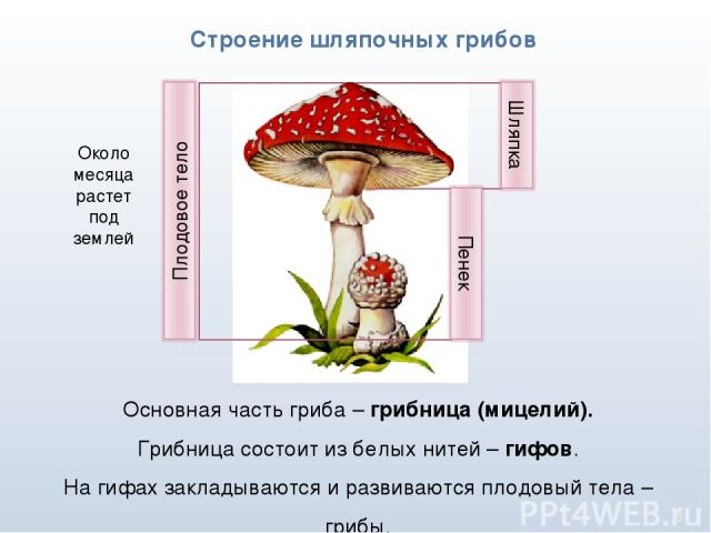 * Строение шляпочных грибов Основная часть гриба – грибница (мицелий). Грибница состоит из белых нитей – гифов. На гифах закладываются и развиваются плодовый тела – грибы. Около месяца растет под землей