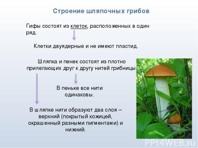 * Строение шляпочных грибов Гифы состоят из клеток, расположенных в один ряд. Клетки двуядерные и не имеют пластид. Шляпка и пенек состоят из плотно прилегающих друг к другу нитей грибницы. В пеньке все нити одинаковы. В шляпке нити образуют два сло…