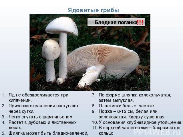 * Ядовитые грибы !!! Яд не обезвреживается при кипячении. Признаки отравления наступают через сутки. Легко спутать с шампиньоном. Растет в дубовых и лиственных лесах. Шляпка может быть бледно-зеленой, белой, желтоватой, оливково-зеленой. По форме шл…