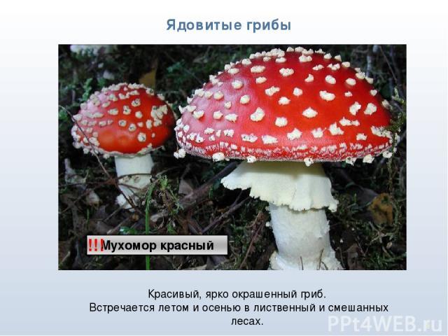 * Ядовитые грибы !!! Красивый, ярко окрашенный гриб. Встречается летом и осенью в лиственный и смешанных лесах.