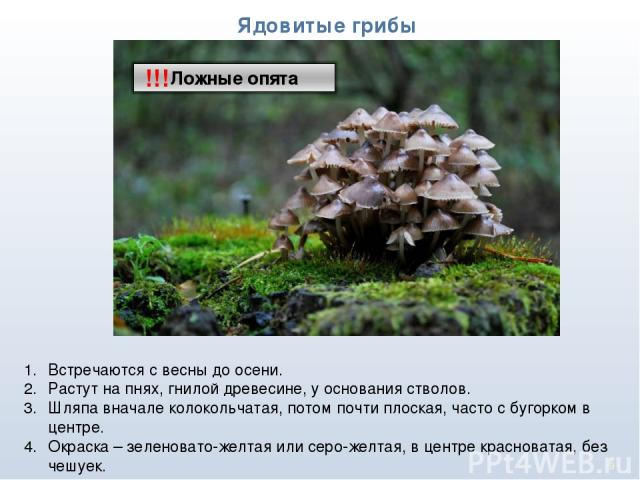 * Ядовитые грибы !!! Встречаются с весны до осени. Растут на пнях, гнилой древесине, у основания стволов. Шляпа вначале колокольчатая, потом почти плоская, часто с бугорком в центре. Окраска – зеленовато-желтая или серо-желтая, в центре красноватая,…