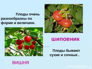 Плоды очень разнообразны по форме и величине. Плоды бывают сухие и сочные . шипо