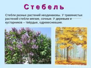 С т е б е л ь Стебли разных растений неодинаковы. У травянистых растений стебли