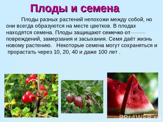 Плоды и семена Плоды разных растений непохожи между собой, но они всегда образуются на месте цветков. В плодах находятся семена. Плоды защищают семечко от повреждений, замерзания и засыхания. Семя даёт жизнь новому растению. Некоторые семена могут с…
