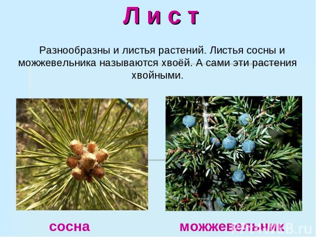 Л и с т Разнообразны и листья растений. Листья сосны и можжевельника называются хвоёй. А сами эти растения хвойными. сосна можжевельник