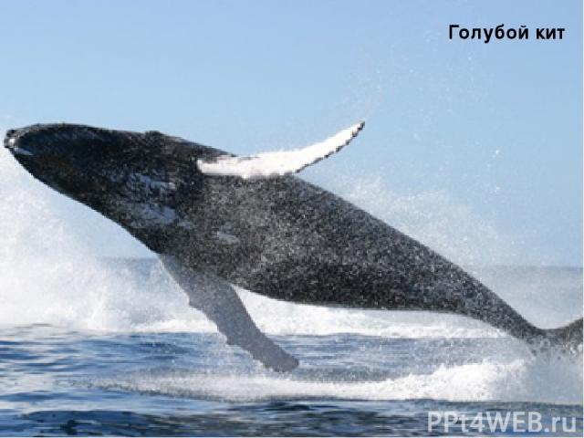 Раффлезия Голубой кит