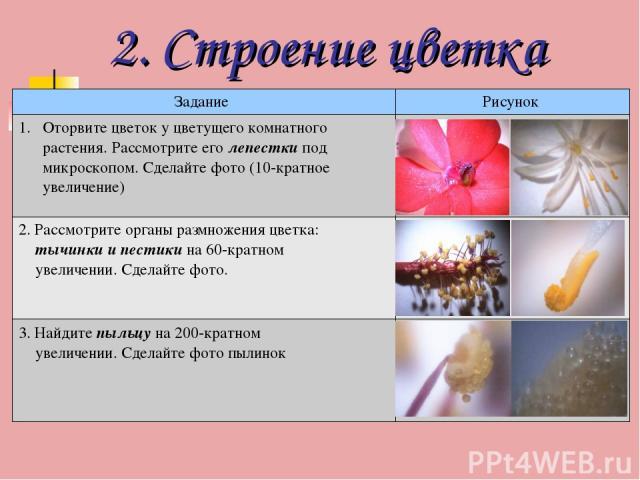 2. Строение цветка Задание Рисунок Оторвите цветок у цветущего комнатного растения. Рассмотрите его лепестки под микроскопом. Сделайте фото (10-кратное увеличение) 2. Рассмотрите органы размножения цветка: тычинки и пестики на 60-кратном увеличении.…