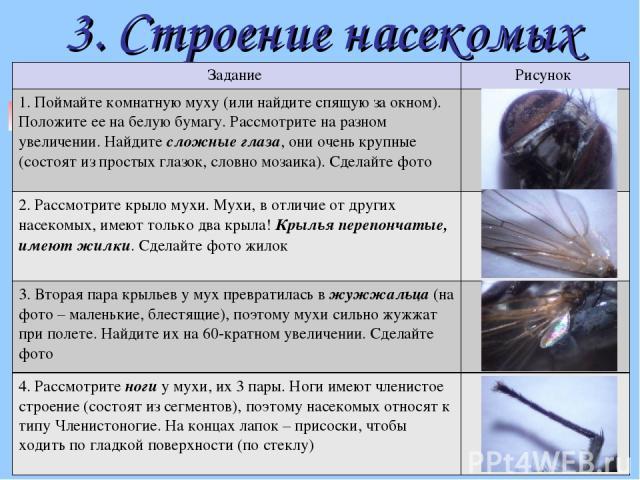 3. Строение насекомых Задание Рисунок 1. Поймайте комнатную муху (или найдите спящую за окном). Положите ее на белую бумагу. Рассмотрите на разном увеличении. Найдите сложные глаза, они очень крупные (состоят из простых глазок, словно мозаика). Сдел…