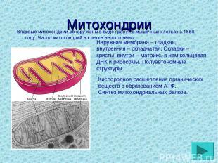 Митохондрии Впервые митохондрии обнаружены в виде гранул в мышечных клетках в 18