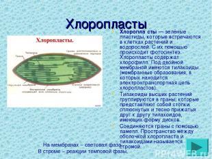 Хлоропласты Хлоропла сты— зелёные пластиды, которые встречаются в клетках расте