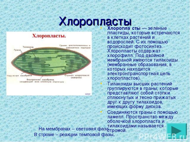 Хлоропласты Хлоропла сты— зелёные пластиды, которые встречаются в клетках растений и водорослей. С их помощью происходит фотосинтез. Хлоропласты содержат хлорофилл. Под двойной мембраной имеются тилакоиды (мембранные образования, в которых находитс…