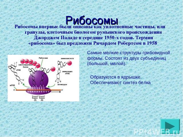 Рибосомы Рибосомы впервые были описаны как уплотненные частицы, или гранулы, клеточным биологом румынского происхождения Джорджем Паладе в середине 1950-х годов. Термин «рибосома» был предложен Ричардом Робертсом в 1958 Самые мелкие структуры грибов…