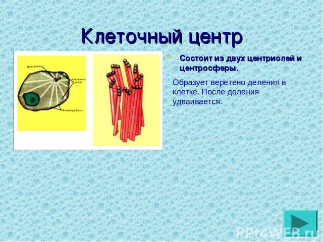 Клеточный центр Состоит из двух центриолей и центросферы. Образует веретено деления в клетке. После деления удваивается.