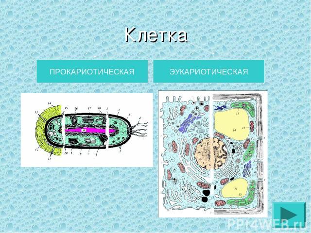 Клетка ПРОКАРИОТИЧЕСКАЯ ЭУКАРИОТИЧЕСКАЯ