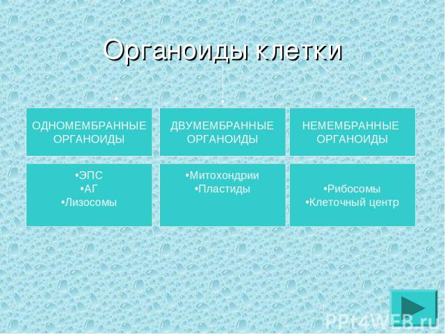 Органоиды клетки ОДНОМЕМБРАННЫЕ ОРГАНОИДЫ ДВУМЕМБРАННЫЕ ОРГАНОИДЫ НЕМЕМБРАННЫЕ ОРГАНОИДЫ ЭПС АГ Лизосомы Митохондрии Пластиды Рибосомы Клеточный центр
