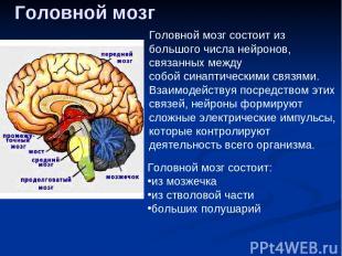 Головной мозг Головной мозг состоит из большого числанейронов, связанных между