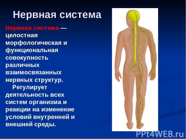Нервная система Нервная система — целостная морфологическая и функциональная совокупность различных взаимосвязанных нервных структур. Регулирует деятельность всех систем организма и реакции на изменение условий внутренней и внешней среды.