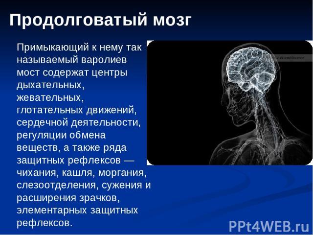 Продолговатый мозг Примыкающий к нему так называемый варолиев мост содержат центры дыхательных, жевательных, глотательных движений, сердечной деятельности, регуляции обмена веществ, а также ряда защитных рефлексов — чихания, кашля, моргания, слезоот…