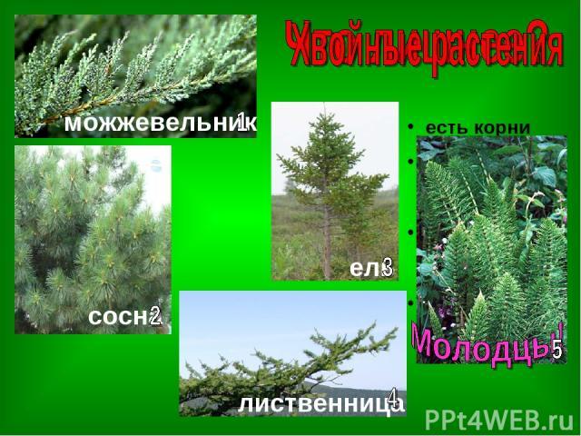 ель есть корни есть одереве- нелый стебель есть листья в виде хвоинок нет цветов можжевельник сосна лиственница ель